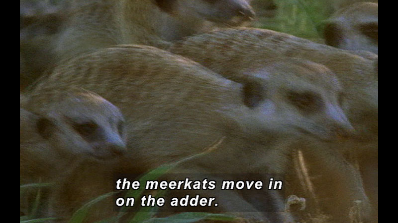 Still image from Wild Chronicles: Meerkats