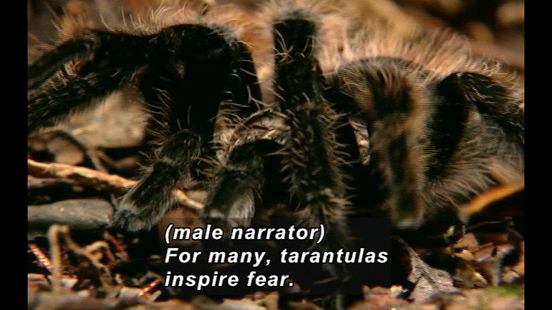 Still image from Wild Chronicles: Tarantulas