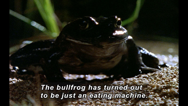 Still image from Wild Chronicles: Bullfrogs Invade Arizona