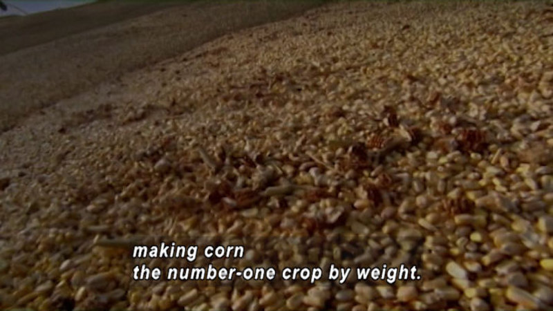 Still image from Corn: King Of Grains