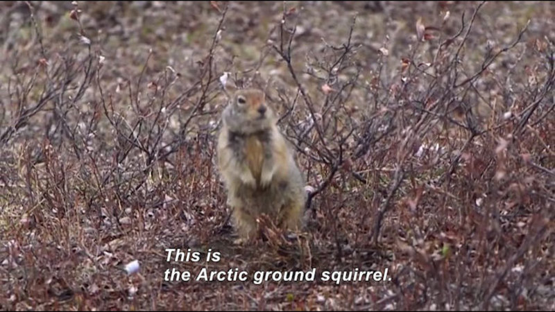 Still image from Science Nation: The Arctic Ground Squirrel Sheds Light on Circadian Rhythms