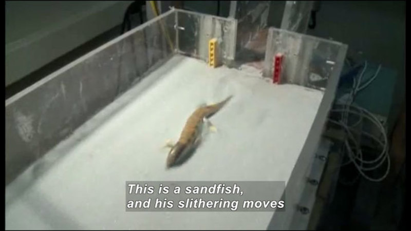 Still image from Science Nation: Sandfish Lizard Slithers Into Science Spotlight