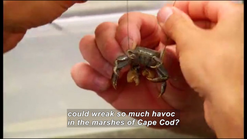 Still image from Science Nation: Crabs Put the Pinch on Marshlands