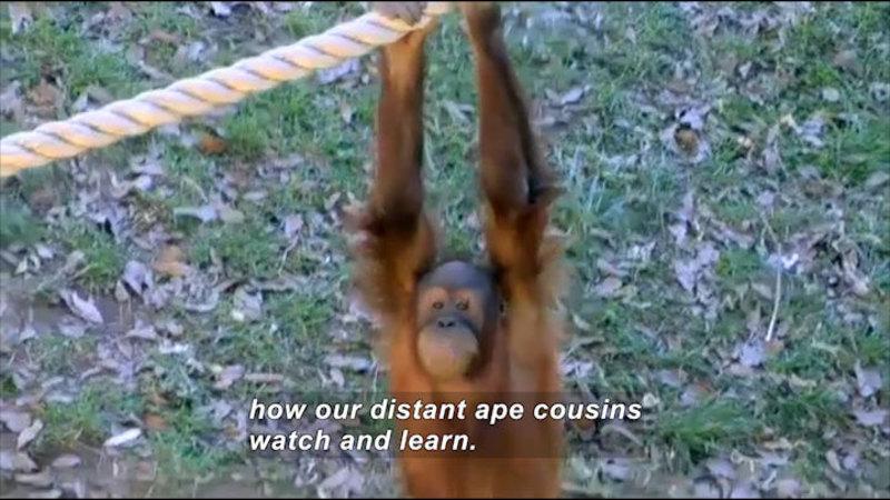Still image from Science Nation: Orangutan Copy Cats