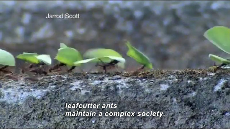 Still image from Science Nation: Leaf Cutter Ants