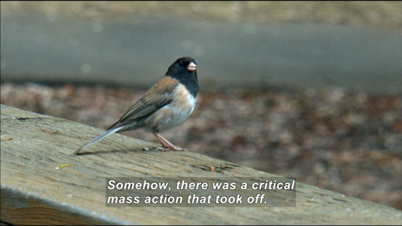 Still image from Evolution-In-Action: The Campus Juncos At UC San Diego