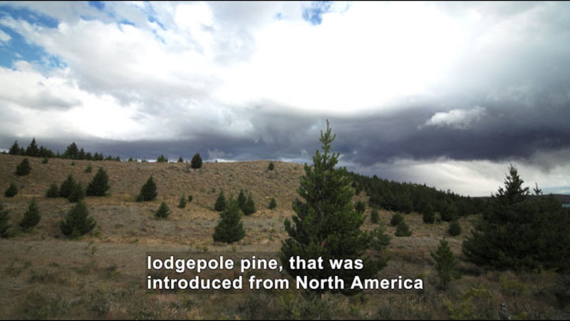 Still image from New Zealand Pine Invasion