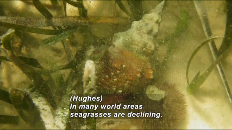 Still image from In The Grass, On The Reef: Seagrass Beds And Blue Carbon