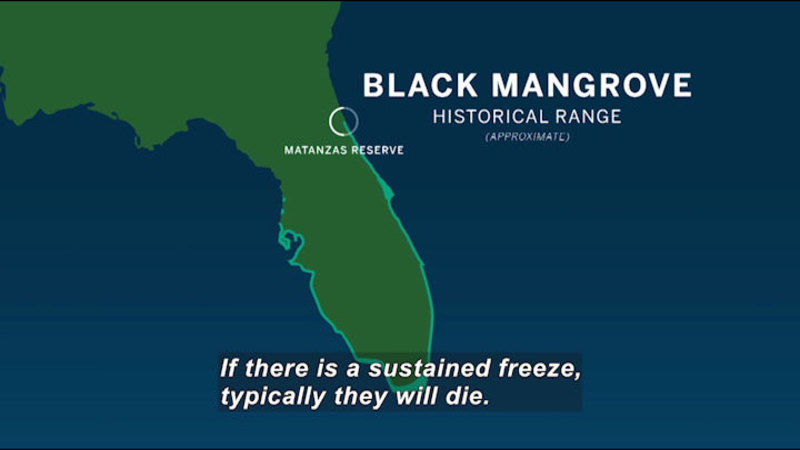 Still image from In The Grass, On The Reef: Black Mangroves Encroach On Florida Salt Marshes