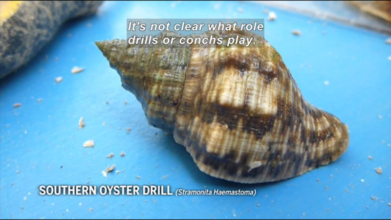 Still image from In The Grass, On The Reef: Florida Oyster Reefs Under Siege By Snails