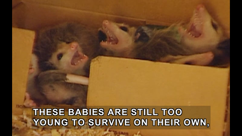 Still image from Jack Hanna's Wild Countdown: Amazing Marsupials!